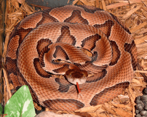 Copperhead snake showing tongue