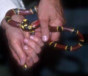 Hands holding a coral snake