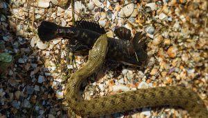 Cotton mouth snake eatign a bullfrog