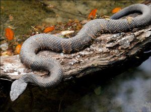 Cotton mouth snake lying on wood