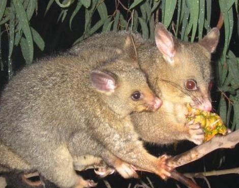 Possum's diet