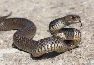 Picture of eastern brow snake on the ground