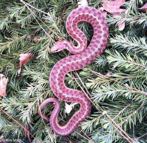 Eastern garter snake lying on grass