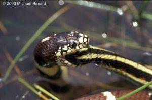 Garter snake eating in water