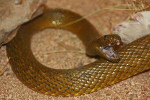 Fierce Snake showing tongue