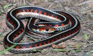Garter snake on the ground