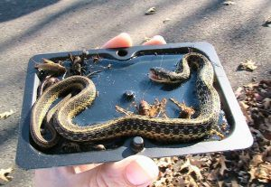 Man holding a glue trap for snakes
