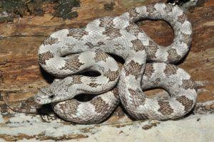 White oak gray rat snake