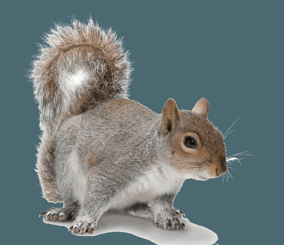 Single ground squirrel on white backdrop.