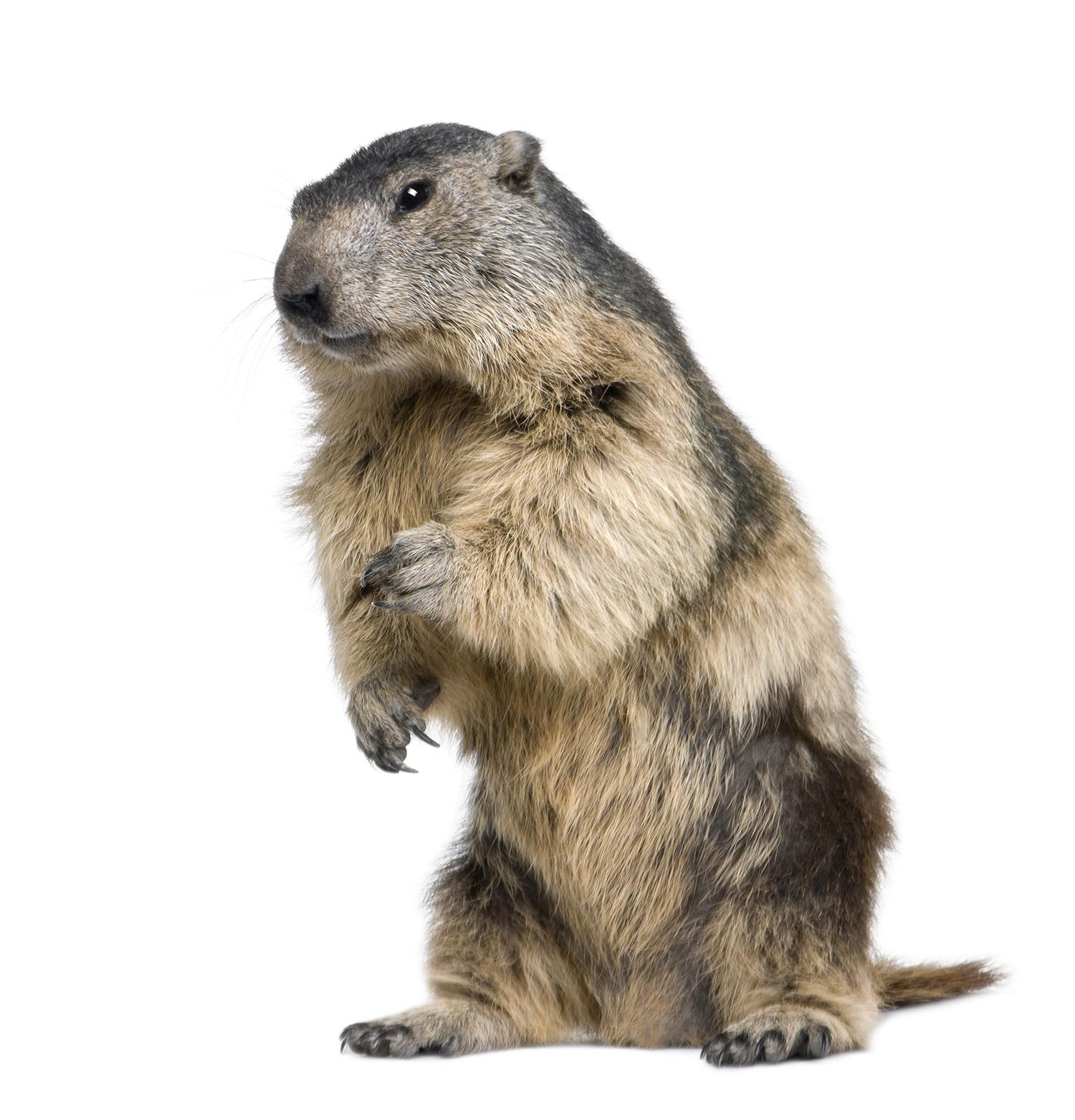 A groundhog on white background.