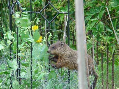 A groundhog near the fence.