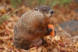 Groundhog eating carrot