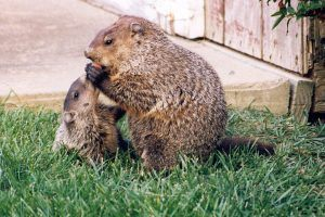 Young and adult groundhogs