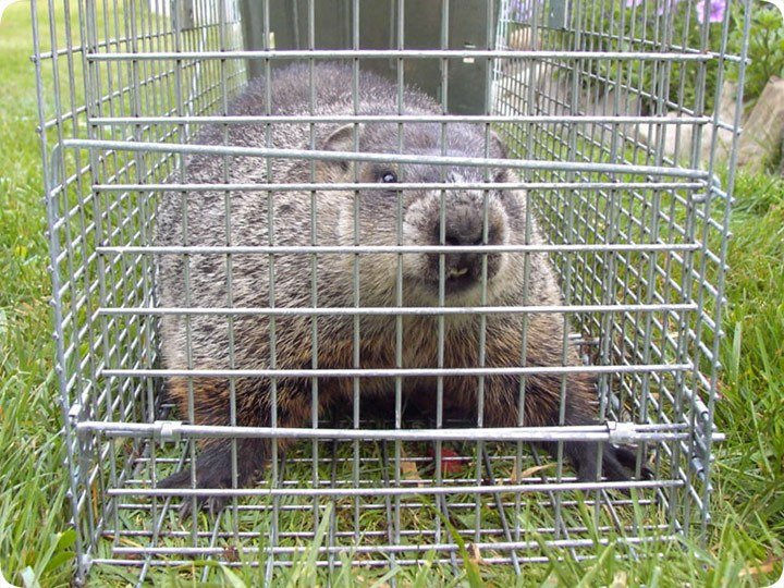 Groundhog in the Havahart trap.