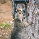 Sentinel possum kill trap