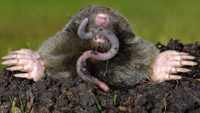 Mole eating an earthworms