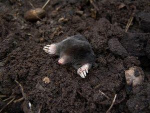 Mole lives underground