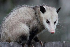 An opossum looking at camera