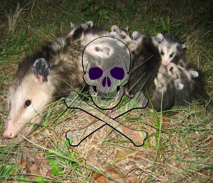 How to Get Rid of Possums in 11 Ways - Pest Wiki