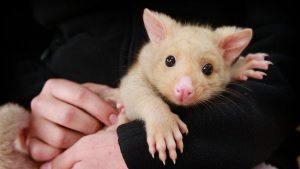 Man holding a baby possum