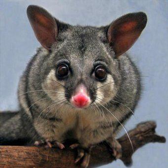 Cute possum looking at the camera