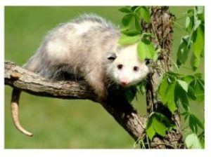 A possum with leaves