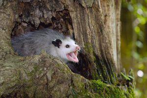 Possum lives on tree
