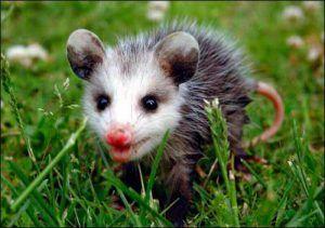 A possum walking on grass