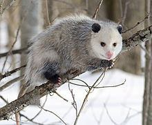 A possum sitting on the tree
