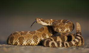 Rattlesnake in a threatening posture