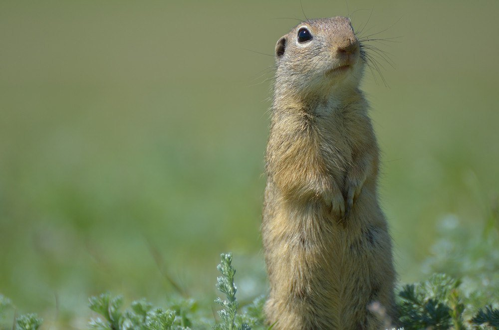 Gopher sitting on the field.