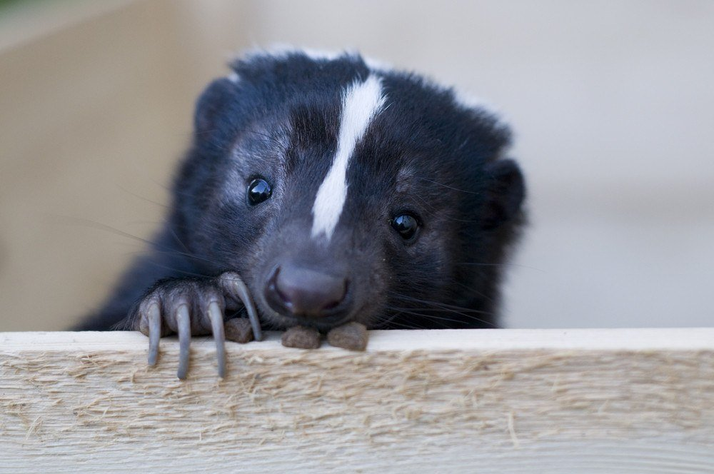 Cute skunk looks out.