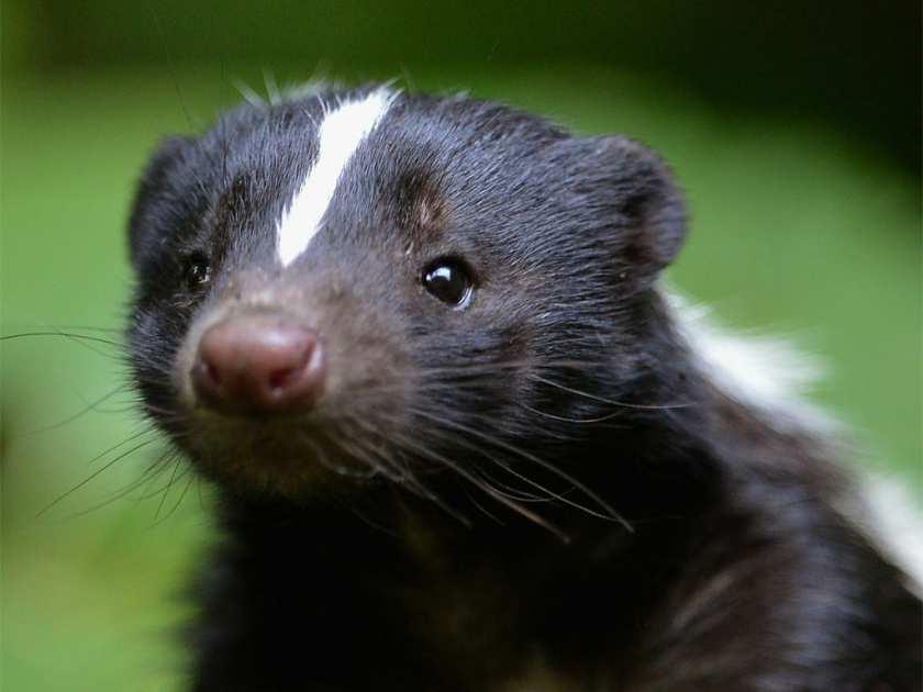 Close up a skunk