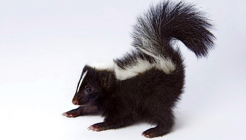 Skunk in the white background