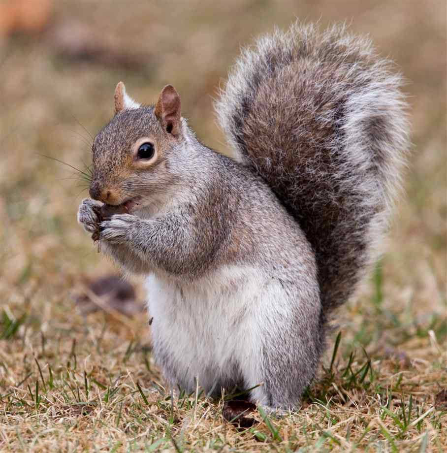 Eastern gray squirrel eating