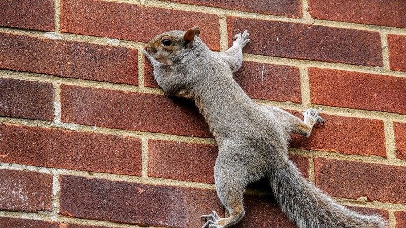 How To Get Rid Of Squirrels From Walls And Attics Pest Wiki