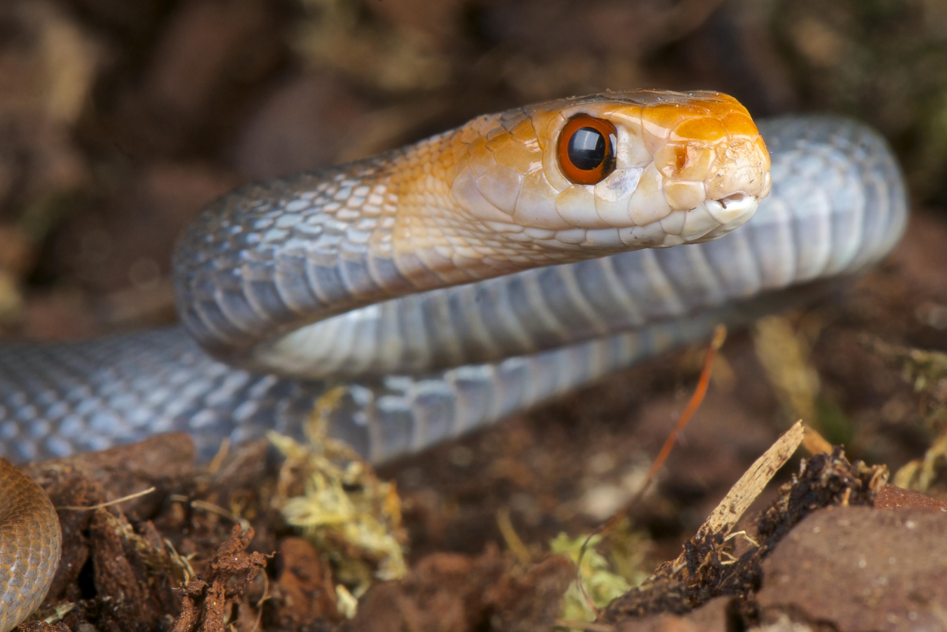 Close up Taipan snake