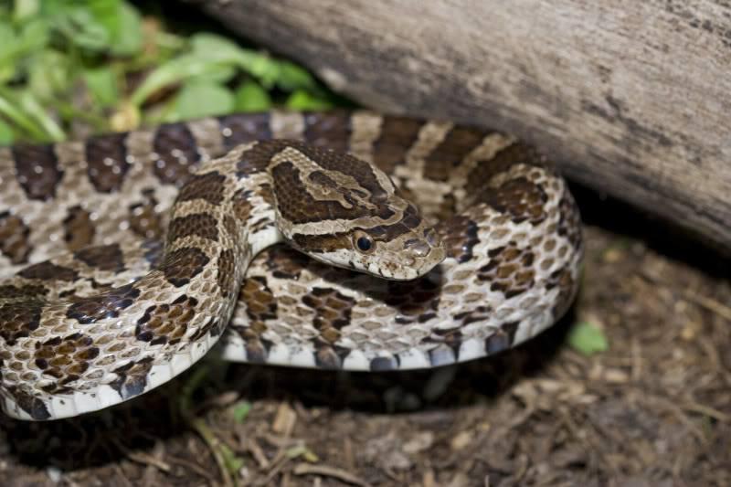 Close up Texas rat snake
