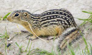 Thirteen-lined ground squirrel on ground.
