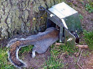 Squirrel in trap