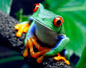 Red eyed tree frog lying on tree