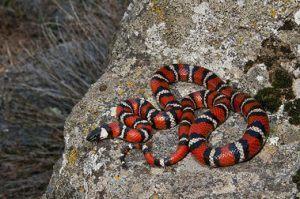 Red color venomous snake