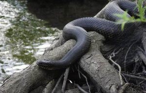 Garter snake near water