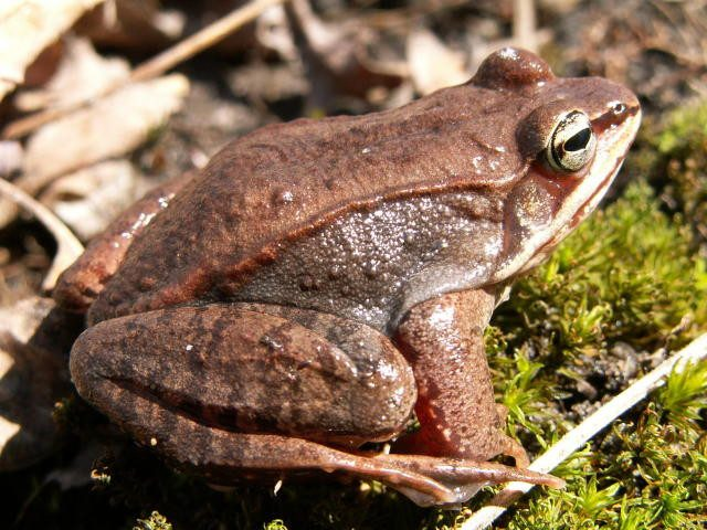 Wood frogs sitting on grass
