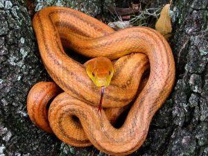 Yellow rat snake hiding inside the tree