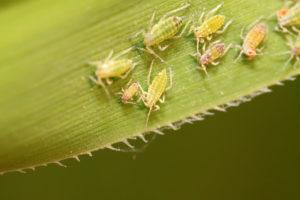 Flat aphid on plant in the wild