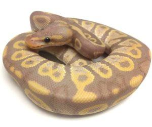 Banana chocolate ball Python on white background