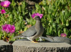 Wild Band-Tailed Pigeon on rock