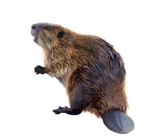 Beaver isolated on the white.