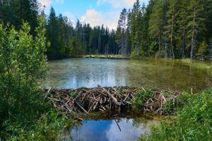 Beaver dam in the swamp.